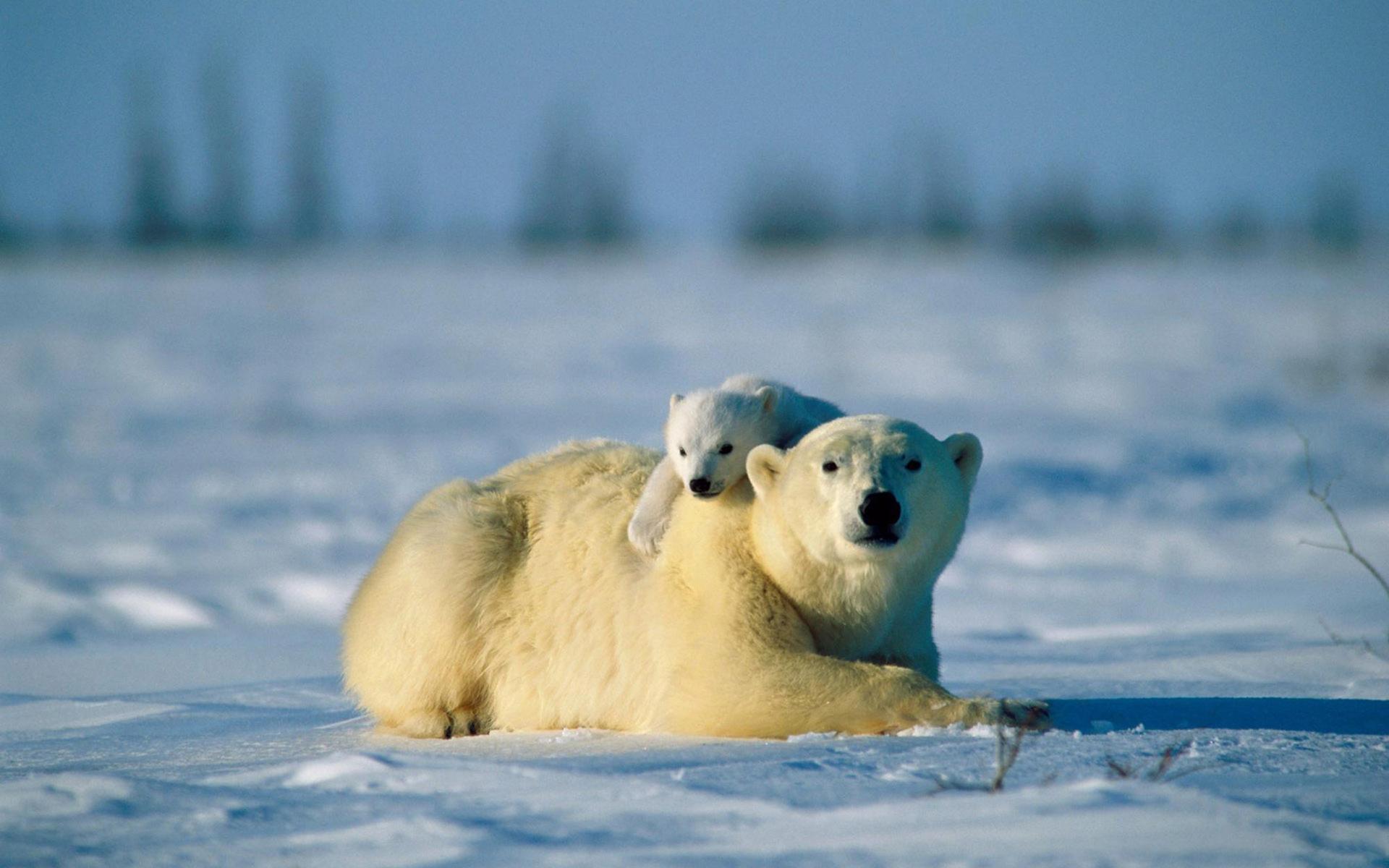 Kutup Ayıları