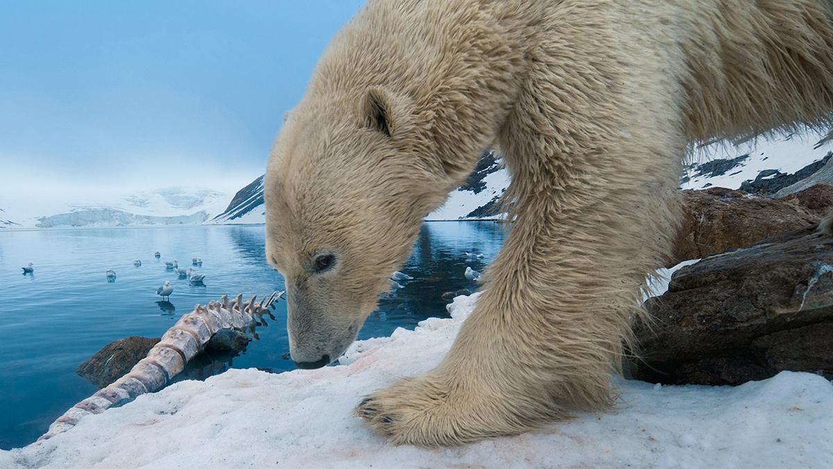Kutup ayıları çok güçlü koklama duyularına sahiptir