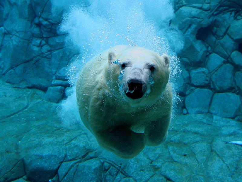 Kutup ayısı yüzerken