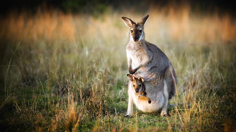 Kanguru Resmi, Kangurular ile bilgiler ve resimler..