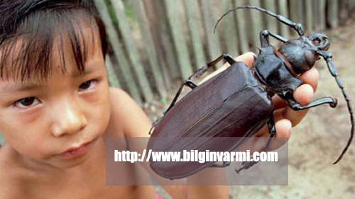 Dünyanın en büyük böceği