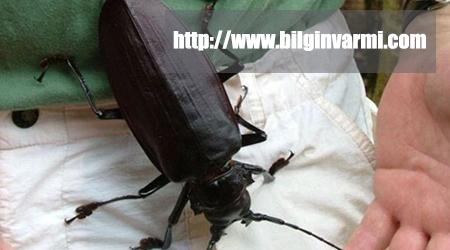 Titan Böceği