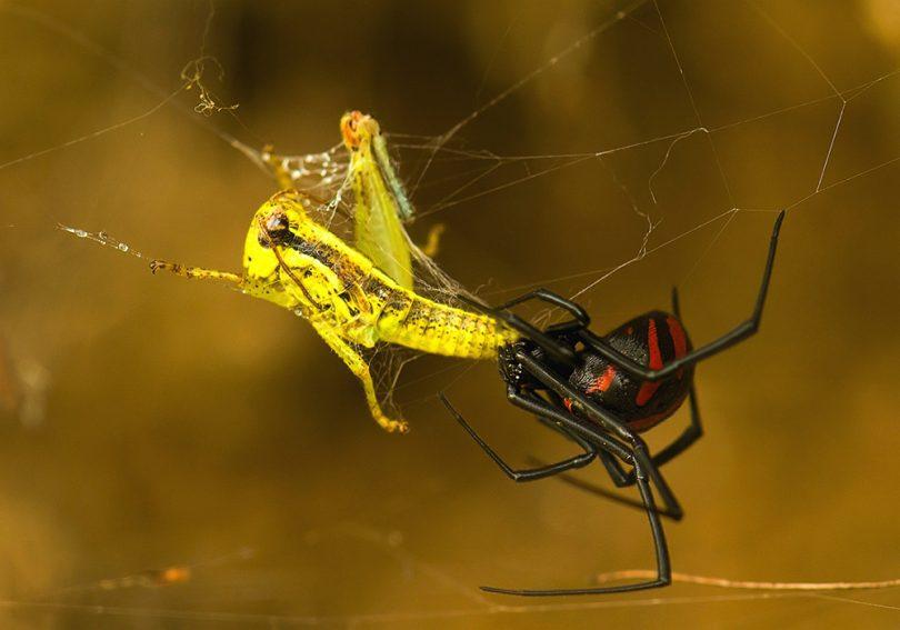Karadul Örümceği Özellikleri
