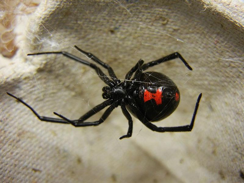 Karadul Örümcekği Hakkında Bilgi