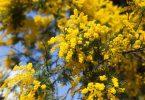 Akasya Ağacı Özellikleri Nelerdir ?