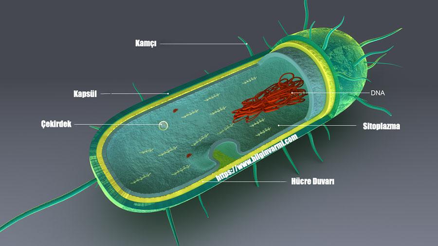 Prokaryot Hücre Nedir ?
